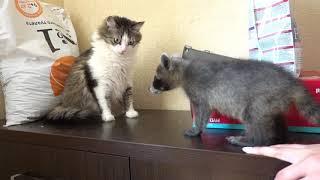 Лимон знакомится с кошками
