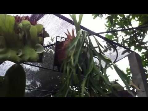 Platycerium - Staghorn fern - Elkhorn - 鹿角蕨 : My Garden