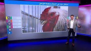 السفير الإيطالي في الجزائر يعلق على فيديو الديك الذي اعتقلته الشرطة بتهمة الإزعاج