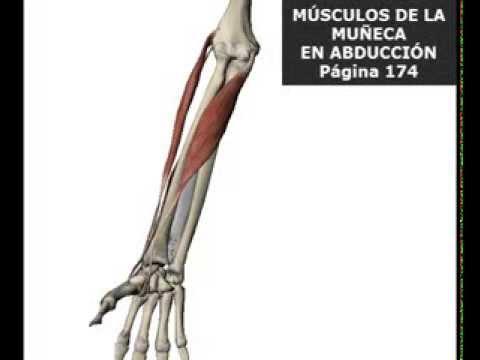 Músculos de la muñeca en abducción - YouTube