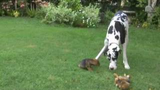 Great Dane Plays With Puppies