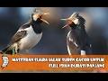 Masteran Suara Jalak Suren Gacor Untuk Full Isian Durasi Panjang Klubburung(.mp3 .mp4) Mp3 - Mp4 Download