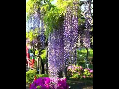 紫藤花,多姿多彩,好美!