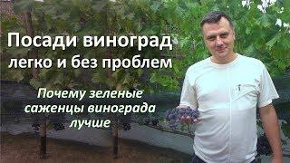 Посадка весной зеленых саженцев винограда: как посадить виноград легко и без проблем