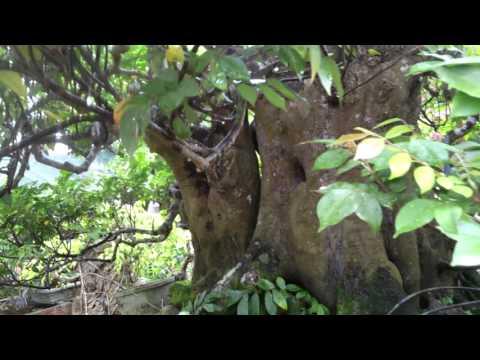 Cây khế cổ thụ hơn 300 năm tuổi.