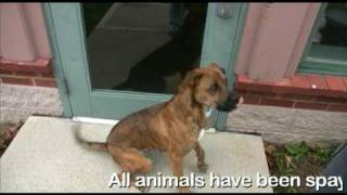 Lexi, Boxer Mix Dog For Adoption
