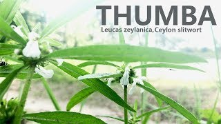 This Tiny Medicinal Plant has a Huge role in Ayurvedic Medicines | Thumba Plant | Leucas zeylanica