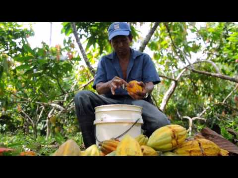 How cocoa farmers in Nicaragua are improving their incomes