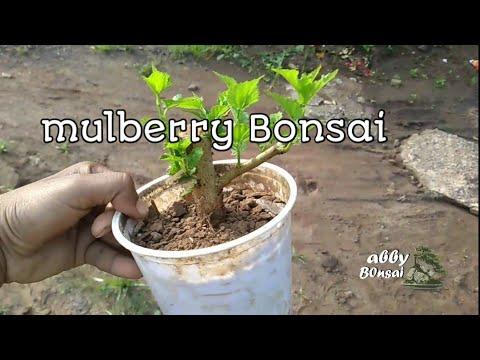 Mulberry Bonsai Shohin Mame By Cuttings