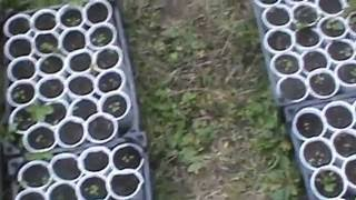 Выращивание мелкоплодной земляники. Часть 2. Пикировка.