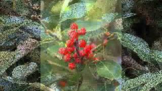 ソルティー・シュガー - 赤い実のなる木