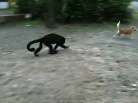 Congo monkey wants to wrestle young pup Part II (Costa Roca)