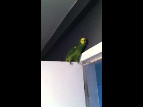 Parrot singing the billy boys