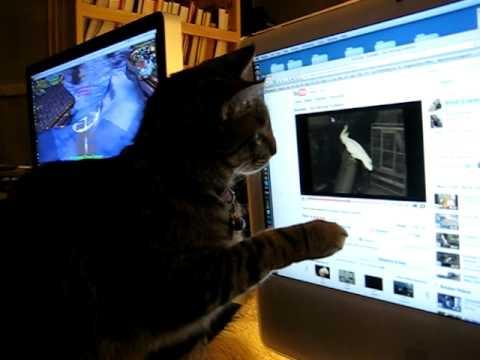 Cat watching Youtube Video of Dancing Cockatoo