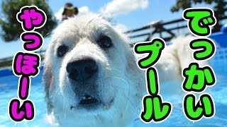 【かわいい犬動画】 プールウィークだ!イェーイ!狼犬も泳いじゃうよ♪[...
