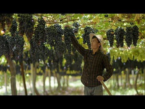 Армянские фермеры вынуждены уничтожать виноград