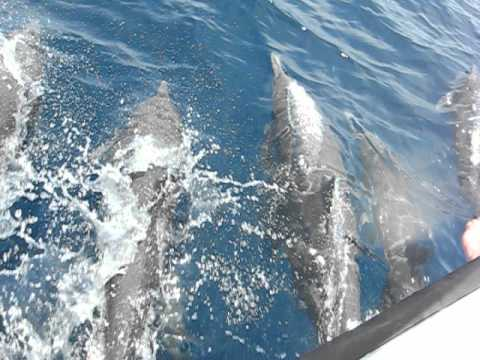 Huge Pod of Dolphins Racing Boat in Costa Rica