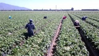 Pisca de fresa en oxnard california