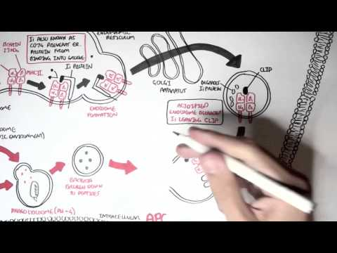 Immunology - MHC II Processing