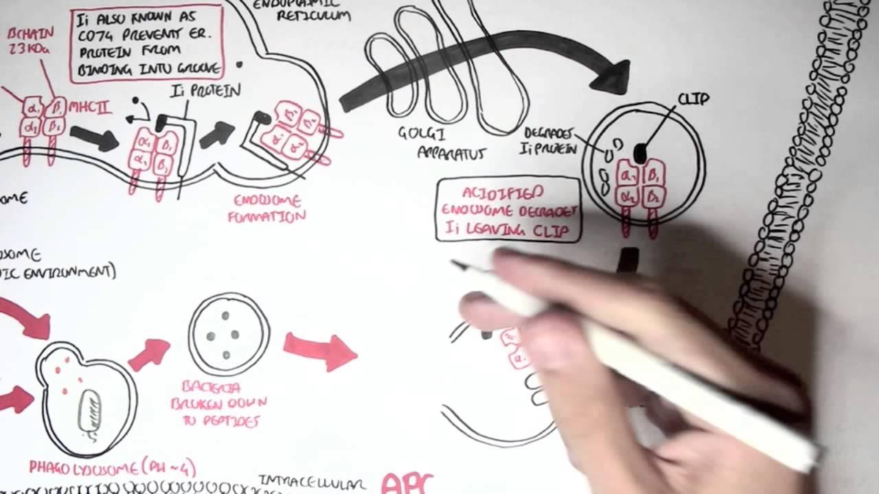 Immunology Mhc Ii Processing Youtube