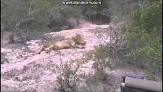 Afryka Safari Lwy