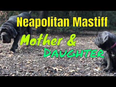 A Neapolitan Mastiff Story