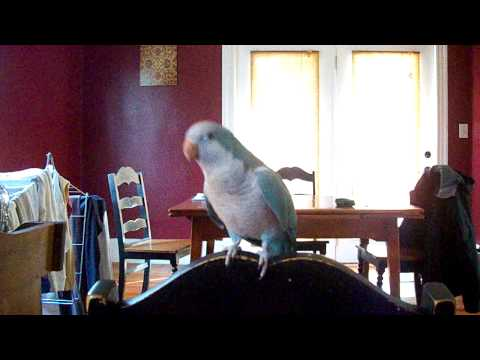 Our Parrot Loves Beyonce