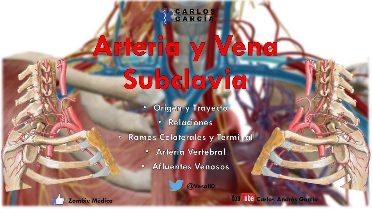 Anatomía - Arteria Subclavia Origen, Trayecto, Relaciones, Ramos ...