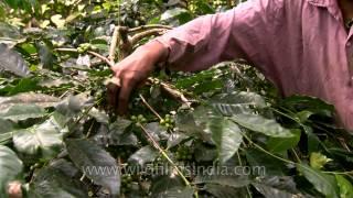 Tribal women working in coffee estate, Karnataka