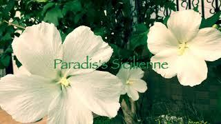 Paradis's Sicilienne