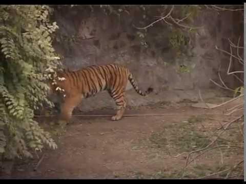 Islamabad Zoo Lions 2017