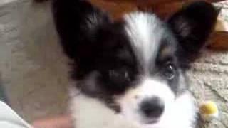 My Little Jack Sparrow Papillon Pomeranian Puppy
