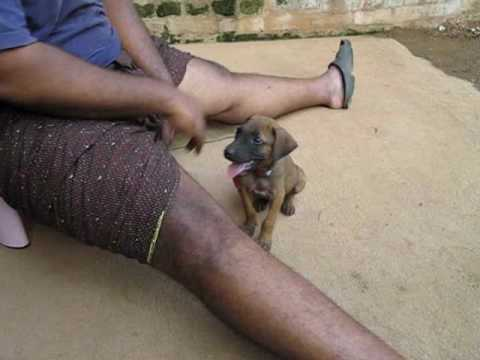 Rajapalayam Kanni Puppies training