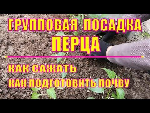 ПОСАДКА ГОРЬКОГО ПЕРЦА В ОТКРЫТЫЙ ГРУНТ. | подготовка | высаживаем | подкормка | удобряем | горького | рассаду | посадка | сажать | перчик | садим