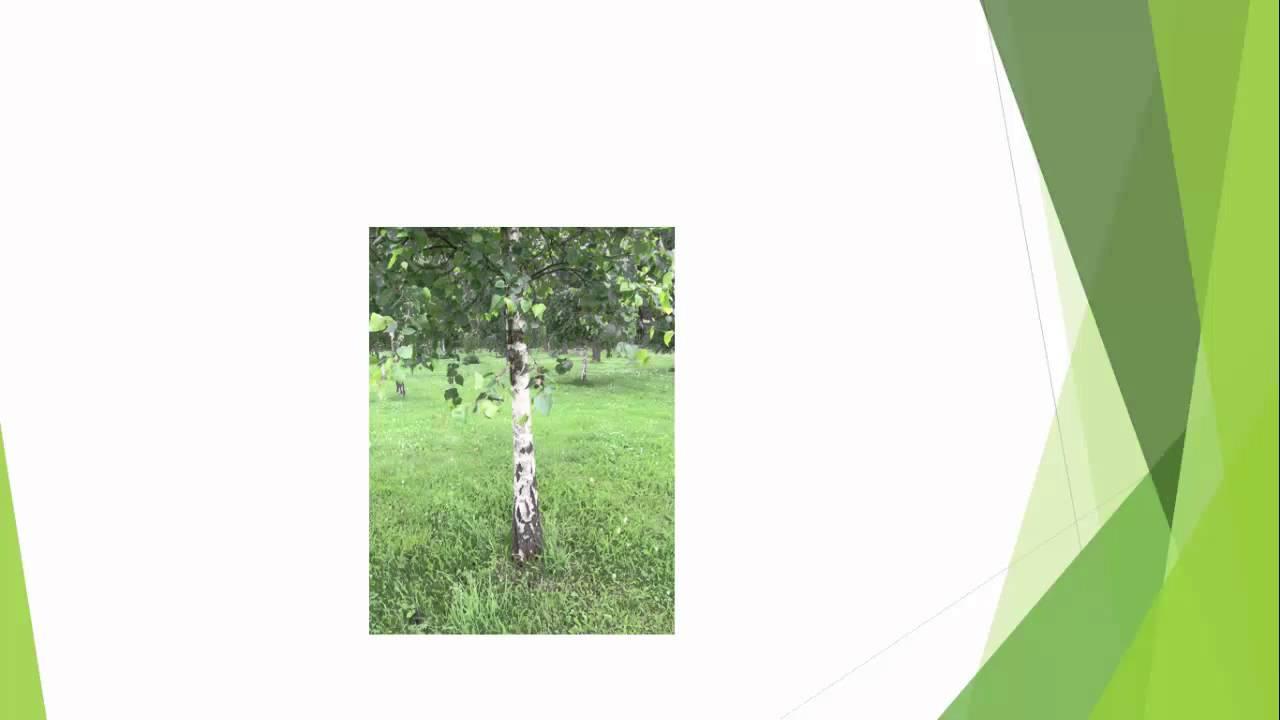 Svenska träd