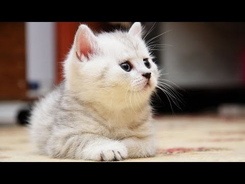 Funny and Cute Fluffy Kittens Compilation