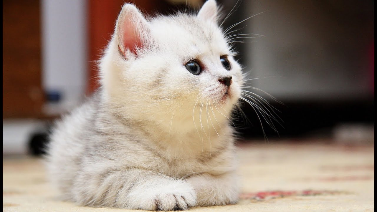 Cutest Fluffy Kittens Compilation YouTube - 25 of the fluffiest cats ever