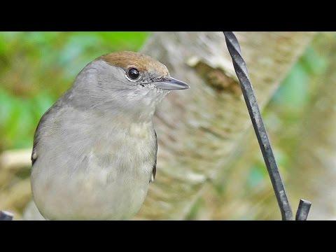 Very Aggressive Female Blackcap  ( Plus Other Little Birds )