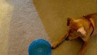 Casper The Beagle / Lab Mix