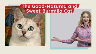 The Good Natured and Sweet Burmilla Cat