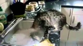 Ce Chat Aide pour Faire la Vaisselle