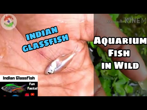 Found Indian Glassfish In Wild Stream | Painted Glassfish | INDIAN AQUATICS 🐠🐟🐢