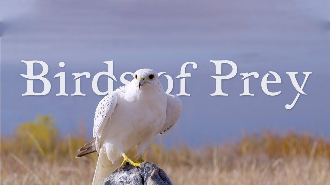 birds of prey 4k ultra hd 60fps youtube