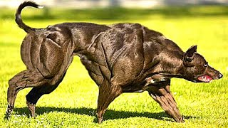 10 Most Muscular Dog Breeds In The World