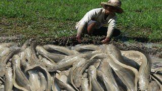 Amazing Skills Fish Catching Process Excellent Catch Fish in Raining Season