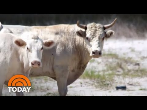 Cows Swept Away By Hurricane Dorian Found Alive (But How Now?) | TODAY