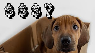 How Much Do Rhodesian Ridgeback Puppies Cost?
