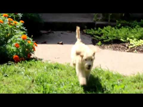 Goldendoodle Puppies For Sale Michelle Martin