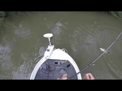 Murrumbidgee River Murray Cod On Surface 28/12/16