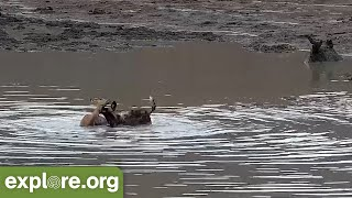 Impala Miraculously Escapes Wild Dogs And a Croc!